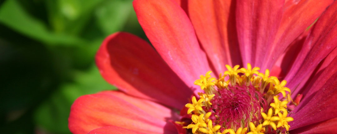 Zinnia-Plant-June-Garden
